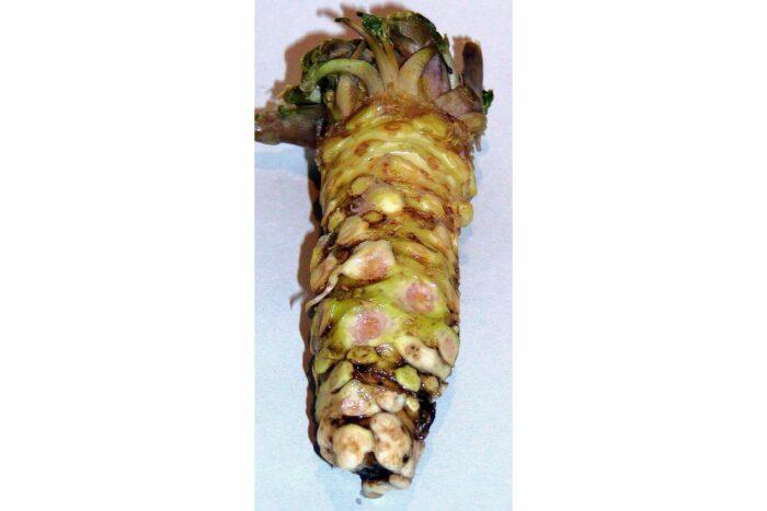 Frischer Wasabi aus Japan z. B. 65 Gramm 1